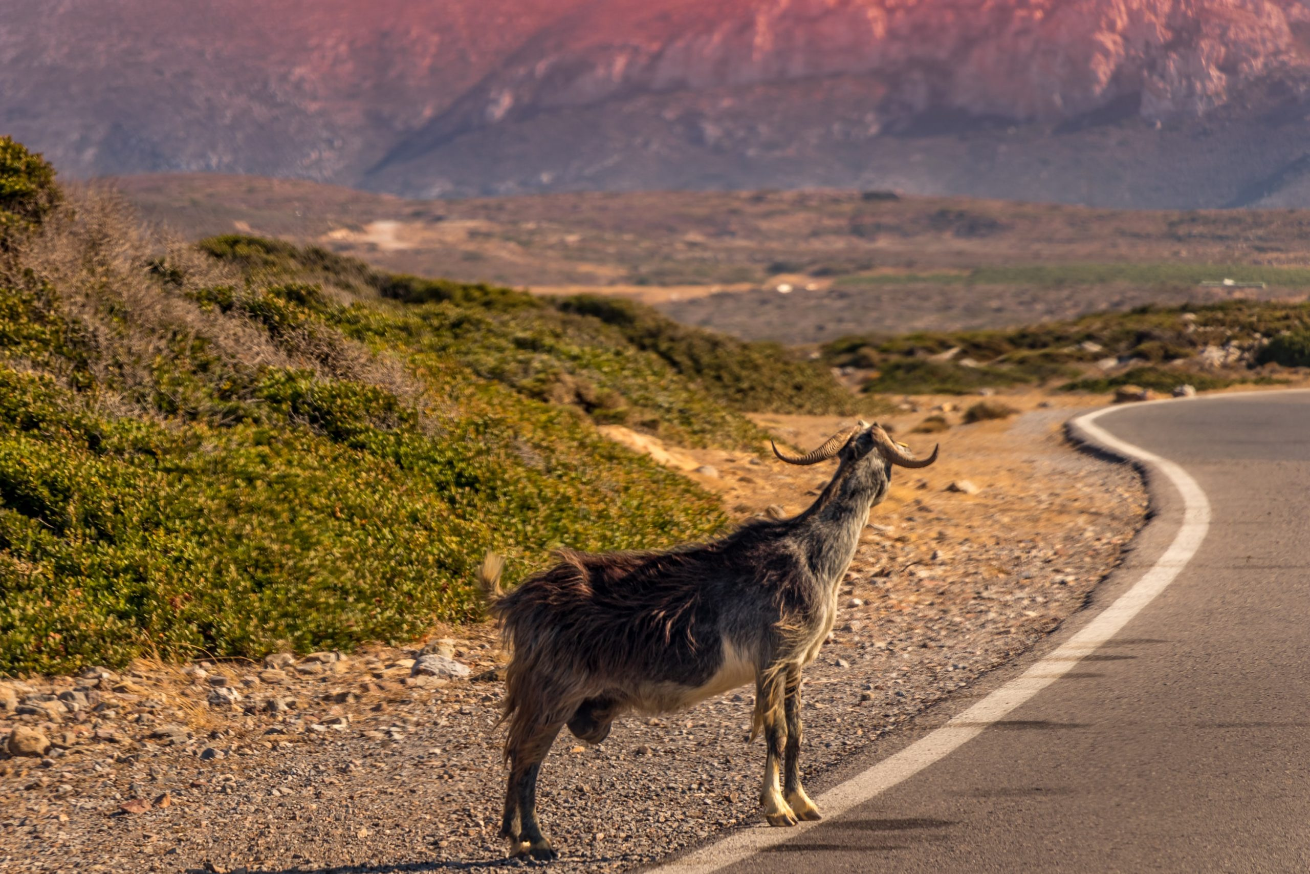"Meet the wild goat of Crete ""kri-kri"""